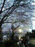 桜(写メール俳句)