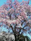 写メール俳句「桜」