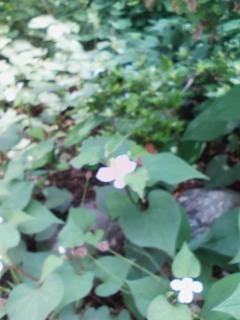 写メール俳句『どくだみの花』